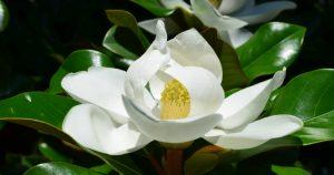 magnolia-grandiflora-720x380