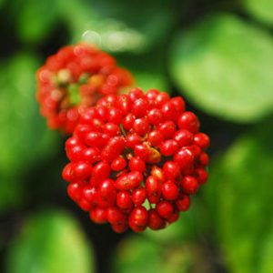 (+)-Syringaresinol, isolated from Panax ginseng berry, Ursolic acid, found in apple peels, inhibits the progression of NDHi-aggravated inflammation via up-regulation of MKP/Dusp-1 and MyD88 (Short)
