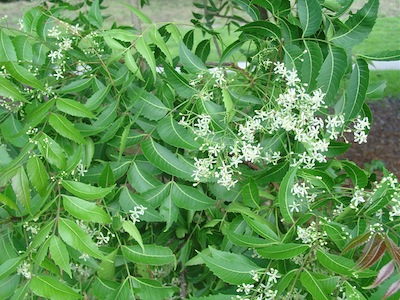 Natural product therapy for tuberculosis: Neem leaf extract