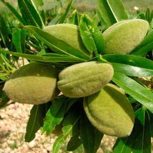 Almond, among others, is one of the richest sources of Vit-E