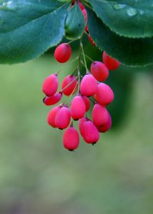 Berberis Amurensis. Berberine, found in Berberis amurensis, inhibits the progression of NDHi-aggravated inflammation via up-regulation of MKP/Dusp-1 and MyD88 (Short)