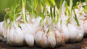 Ajoene, found in Garlic, promotes insulin sensitivity via up-regulation of reprogramming protein Lin-28B