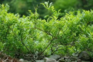 Ampelopsin (AMP), also known as Mayeam tea, promotes longevity via down regulation of p70 S6 kinase