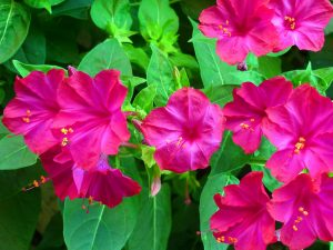 Ursolic acid is also found in four o'clock flower