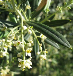 Oleanolic acid, isolated from Olea europaea,
