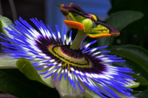 Passion flower contains Scopoletin