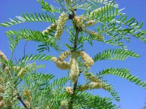 Oleanolic acid isolated from prosopis glandulosa