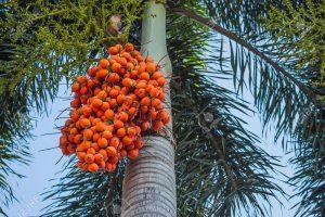 Areca nut palm