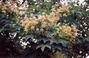 Castor-aralia (kalopanax-pictus)