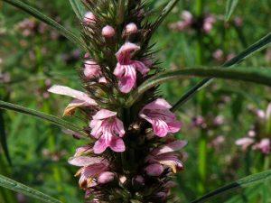 Leonurus sibiricus - Honeyweed-