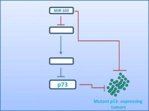 mir-103-activates-p73