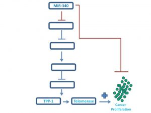 mir-340-inhibits-tpp1-expression-nov-25-2016