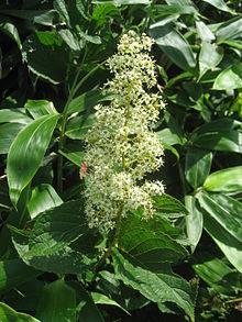 Celastrol, also isoalated from Tripterygium Regeli