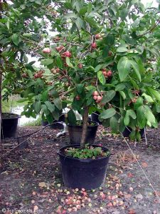 wax-jambu-java-apple-rose-apple