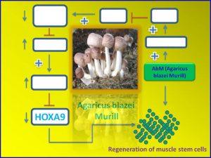 abm-promotes-muscle-stem-cell-regeneration-via-down-regulation-of-hoxa9