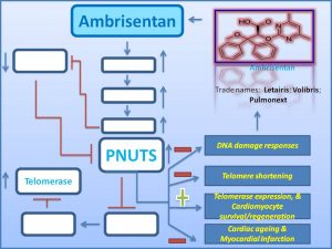 ambrisentan-prevents-cardiac-ageing-by-increasing-pnuts-expression