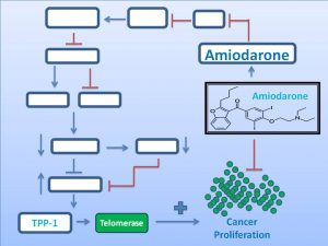 amiodarone-inhibits-tpp1-and-telomerase-expression