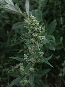artemisia-douglasiana1