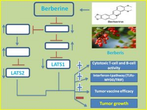 berberine-suppresses-lats1-and-2-expression-to-augment-anticancer-immunity