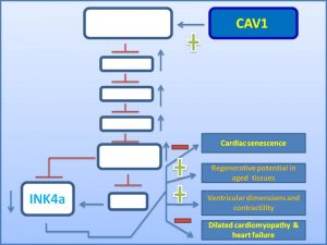cav1-decreases-the-exp-of-senescence-promoter-ink4a-and-inhibits-the-prog-of-dilated-cardiomyopathy