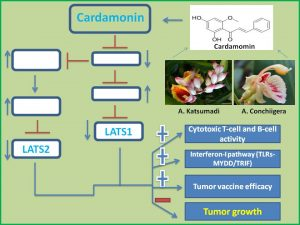 cardamonin-suppresses-lats1-and-2-expression-to-augment-anticancer-immunity