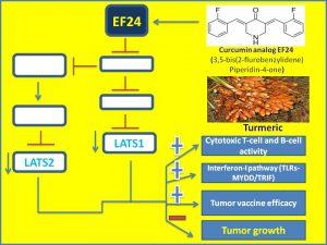 curcumin-analog-ef24-suppresses-lats1-or-2-expression-to-augment-anticancer-immunity