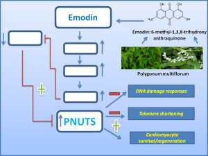 emodin-promote-cardiomyocyte-regeneration