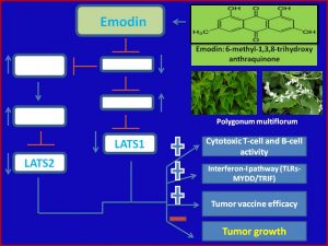 emodin-suppresses-lats1-and-2-expression-to-augment-anticancer-immunity