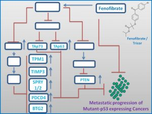 fenofibrate-induces-the-expression-of-tap63-p73-to-regress-mutant-p53-exp-tumors