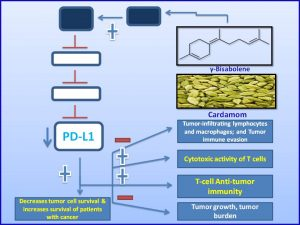 gbisabolene-inhibits-pdl1-expression