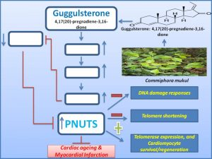 guggulsterone-promotes-cardiomyocyte-regeneration-and-protects-it-from-mi