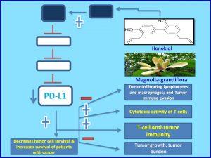 honokiol-inhibits-pdl1-expression