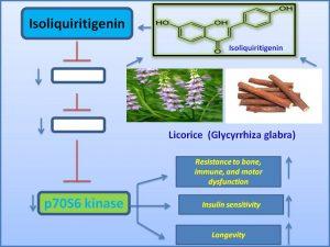 isoliquiritigenin-suppresses-p70s6-kinase-to-promote-longevity