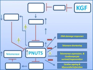 kgf-induces-pnuts-expression-to-promote-cardiomycyte-regeneration