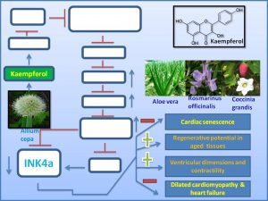 kaempferol-decreases-the-exp-of-senescence-promoter-ink4a-and-inhibits-the-prog-of-dilated-cardiomyopathy