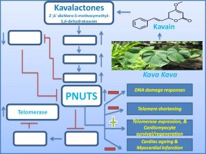 kavain-promotes-cardiomyocyte-regeneration-and-protects-it-from-mi