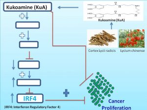 kukoamine-increases-irf4-expression