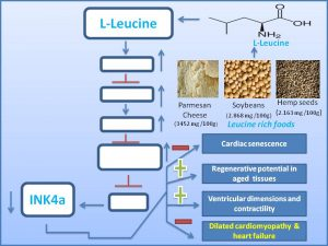 leucine-inhibits-dilated-cardiomyopathy-heart-failure
