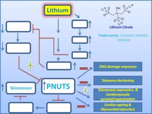 lithium-induces-pnuts-expression-to-promote-cardiomycyte-regeneration