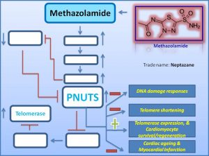 methazolamide-prevents-cardiac-ageing-by-increasing-pnuts-expression