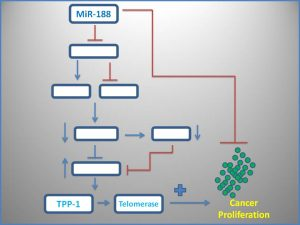 mir-188-inhibits-tpp1-and-telomerase-expression