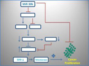 mir-30b-inhibits-tpp1-and-telomerase-expression