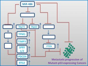 mir-486-induces-tap63-and-tap63-expression-to-stall-cancer-progresion1