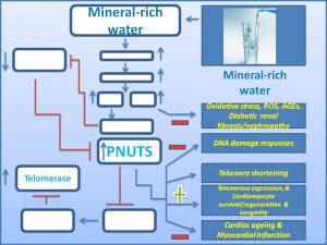 mineral-rich-water-increases-pnuts-expression-and-prevents-myocardial-infarction-diabetic-nephropathy