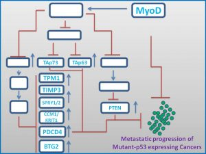 myod-induces-the-expresison-of-tap73-p63