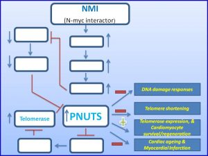 nmi-induces-pnuts-expression-to-promote-cardiomycyte-regeneration