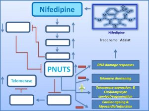 nifedipine-prevents-cardiac-ageing-by-increasing-pnuts-expression