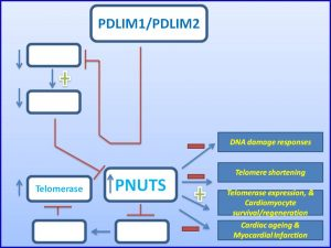 pdlim1-increases-pnuts-expression-and-prevents-myocardial-infarction-diabetic-nephropathy