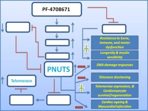pf-4708671-induces-the-expresion-of-pnuts-to-prevent-myocardial-infarction