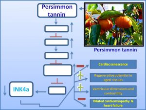 persimmon-tannin-decreases-the-exp-of-senescence-promoter-ink4a-and-inhibits-the-prog-of-dilated-cardiomyopathy